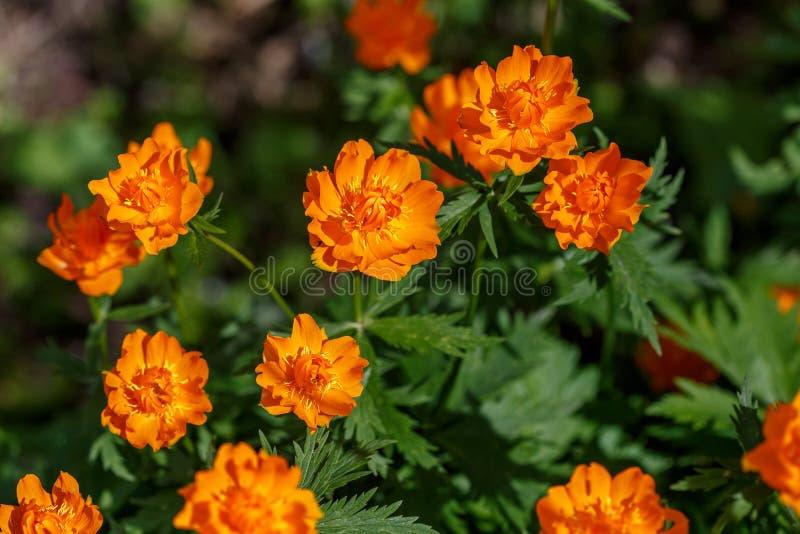Pomarańczowi kwiaty Chiński globeflower Trollius chinensis lub ledebourii, obrazy stock