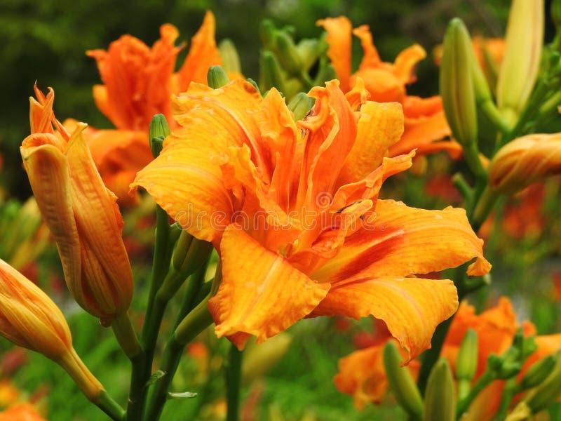 Pomarańczowi leluja kwiaty obrazy royalty free