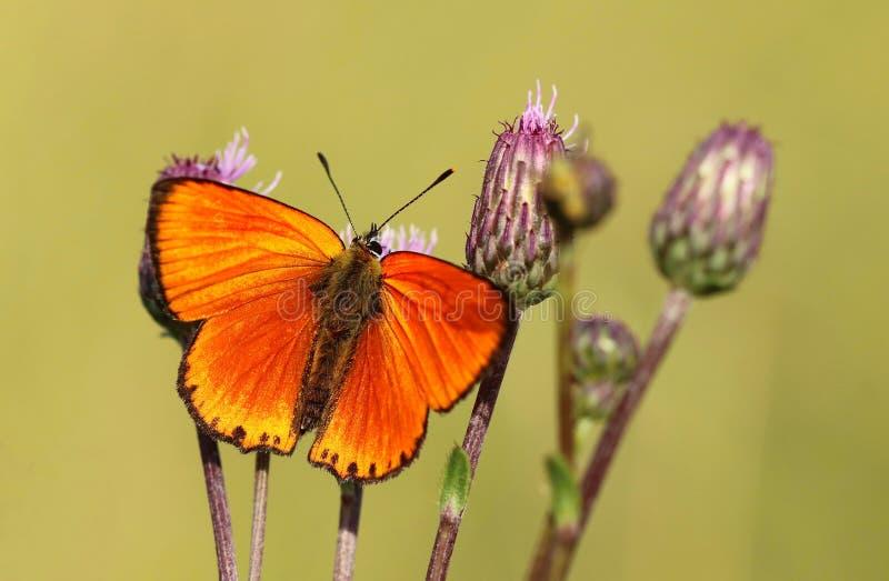 Pomarańczowi motyli Lycaena virgaureae zdjęcia stock