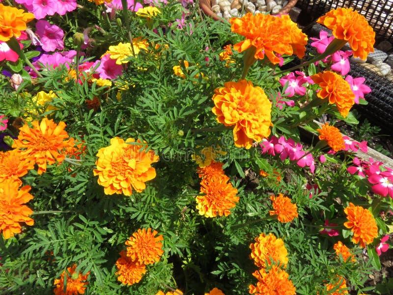 Pomarańczowi nagietków kwiaty w lato ogródzie w Sierpień fotografia stock