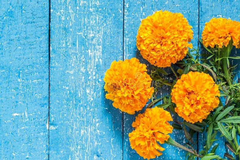 Pomarańczowi nagietki na błękitnym drewnianym tle obrazy royalty free