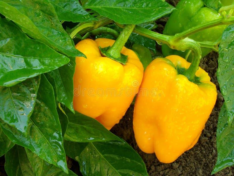 Pomarańczowi pieprze fotografia stock