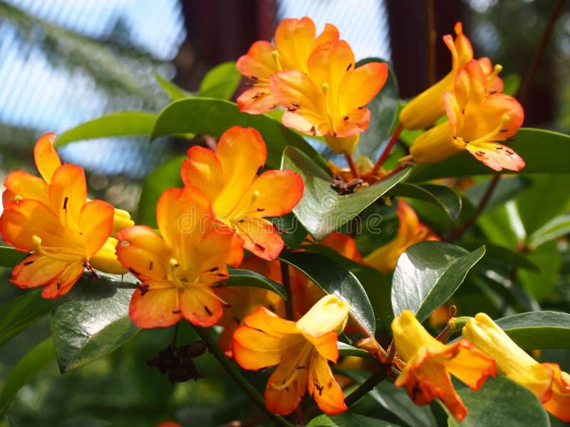 Pomarańczowi Rododendronowi kwiaty, nabierający Sydney Królewscy ogródy botaniczni obraz stock