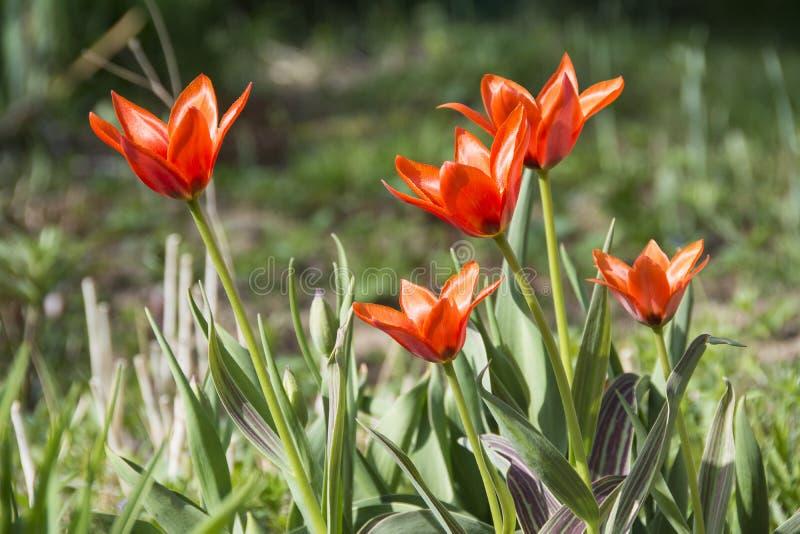 Download Pomarańczowi Tulipany Na łóżku Ilustracji - Ilustracja złożonej z botaniczny, flory: 53790476