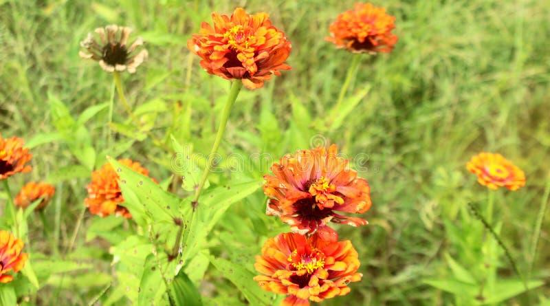 Pomarańczowi Zinnias zdjęcia stock