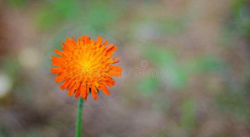 Pomarańczowy świrzepa kwiat, jastrzębiec, genus Hieracium obrazy stock