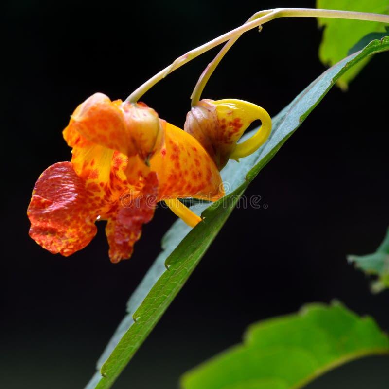 Pomarańczowy balsam (Impatiens capensis) zdjęcie stock