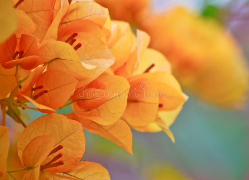 Pomarańczowy bougainvillea kwiat w ogródzie fotografia royalty free