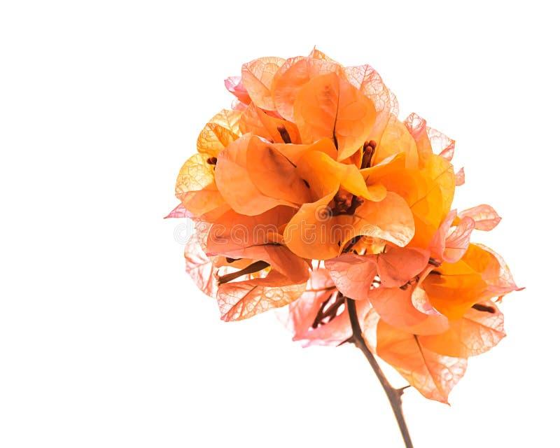 Pomarańczowy bougainvillea odizolowywający zdjęcie stock