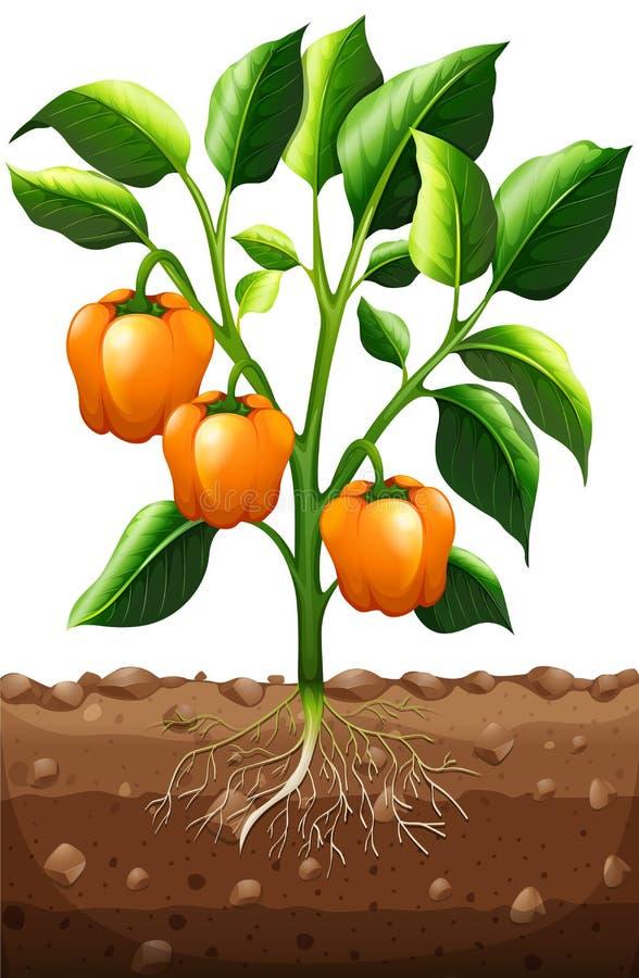 Pomarańczowy capsicum na roślinie royalty ilustracja