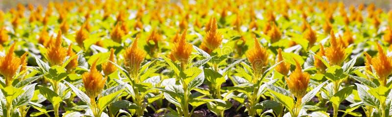 Pomarańczowy celozi argentea plumosa, kwiecisty panoramy tła tapety sztandar zdjęcia stock