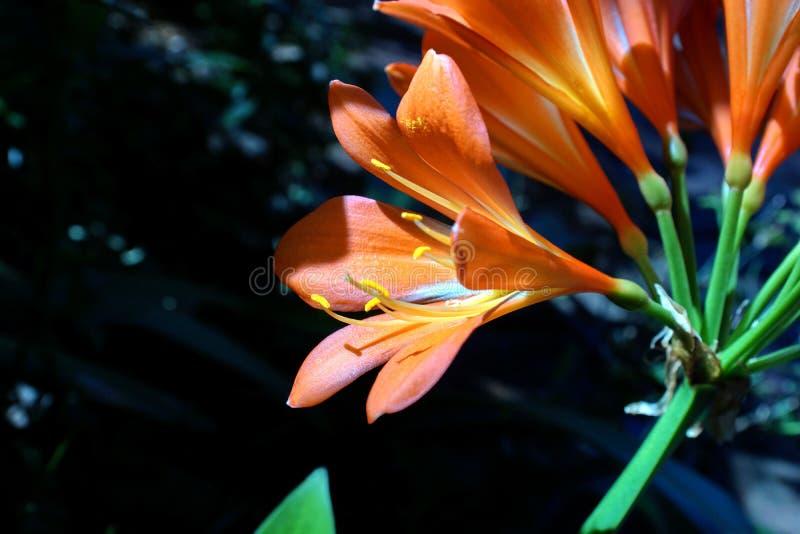 Pomarańczowy clivia w Pretoria, Południowa Afryka zdjęcia royalty free