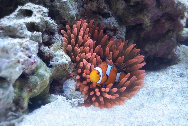Pomarańczowy Clownfish w Różowym anemonie obraz royalty free