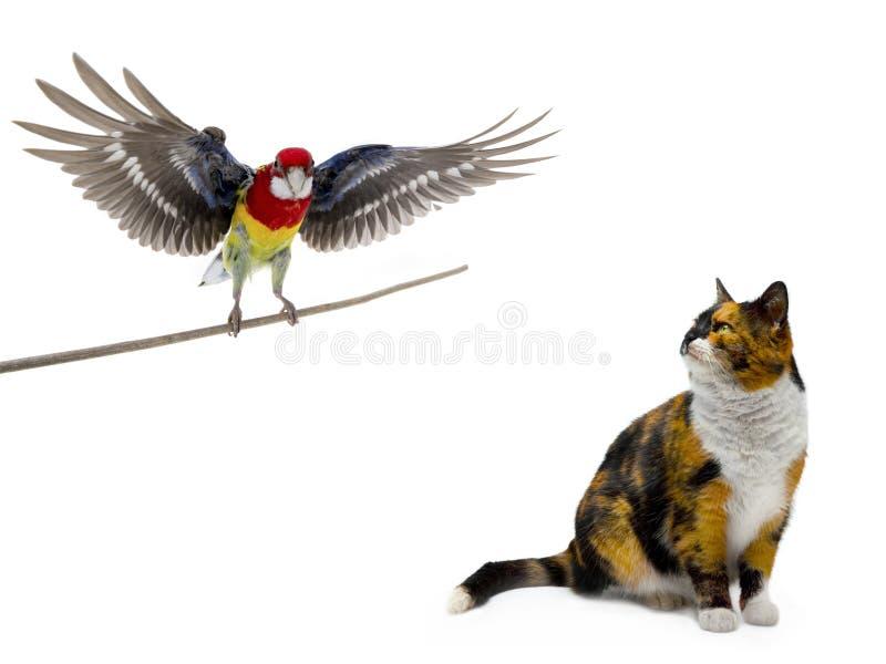 Pomarańczowy czarny biały kot przyglądający w górę papuziego Rosella obrazy royalty free