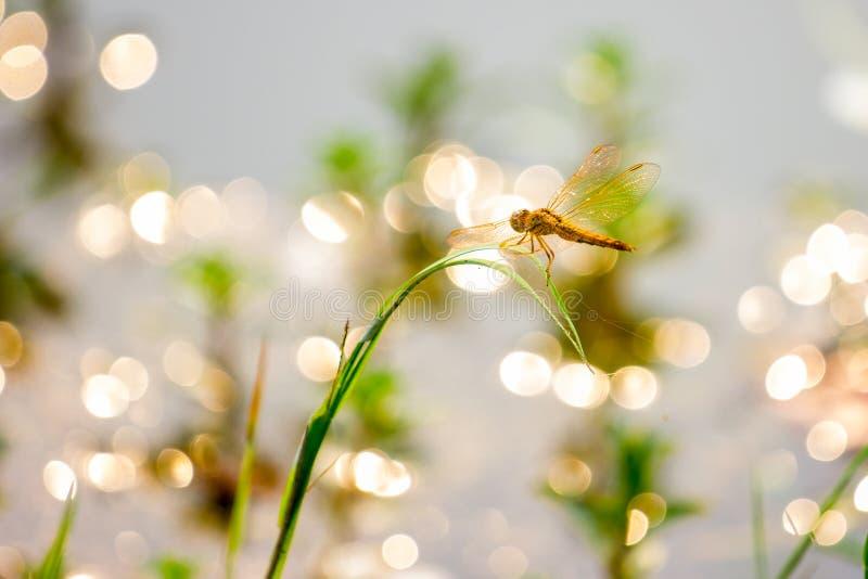 Pomarańczowy dragonfly obraz stock