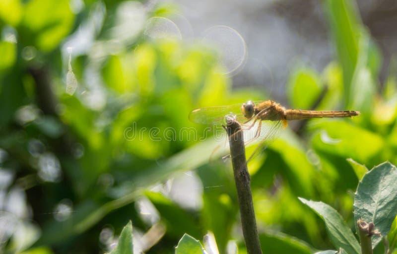 Pomarańczowy dragonfly cieszy się słońce fotografia royalty free