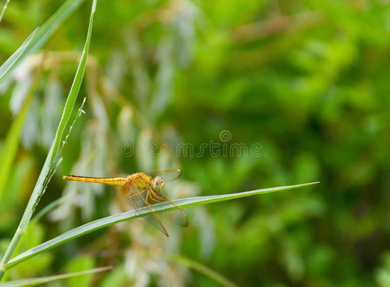 Pomarańczowy dragonfly na ostrzu trawa obraz stock