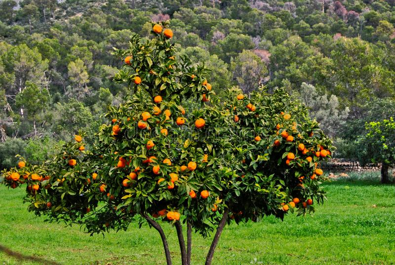 Pomarańczowy Drzewo zdjęcie stock