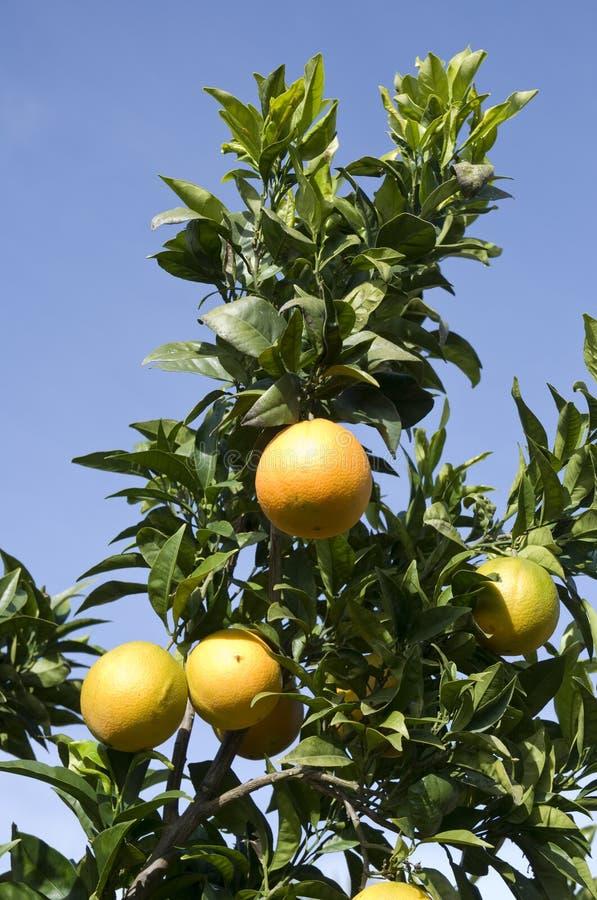 pomarańczowy drzewo fotografia royalty free