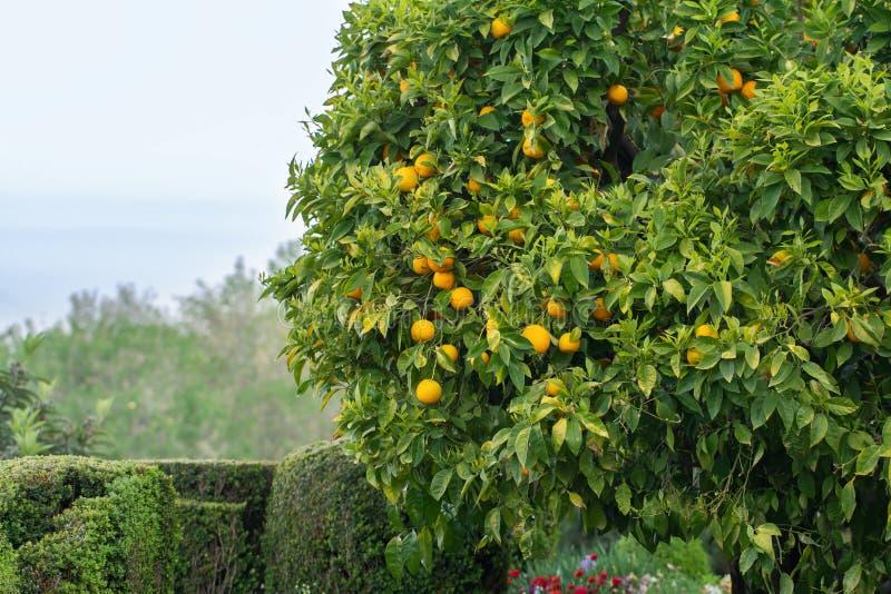 Pomarańczowy drzewo w ogródzie fotografia stock