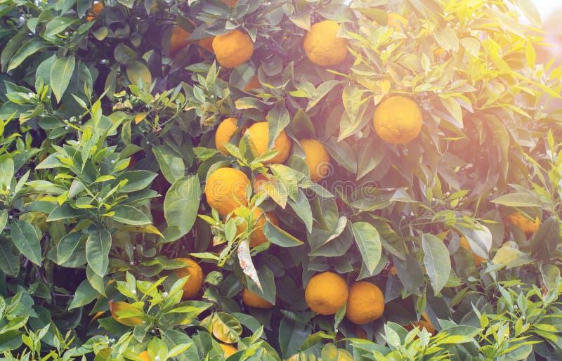 Pomarańczowy drzewo w zmierzchu zdjęcia royalty free