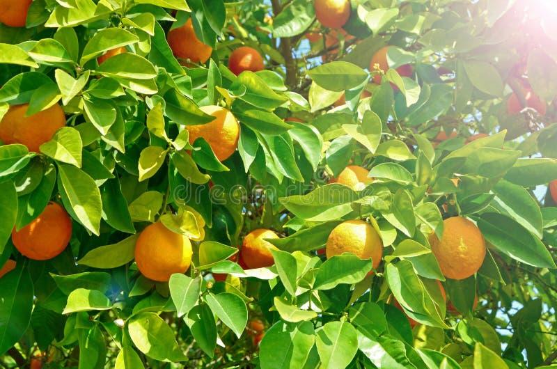 Pomarańczowy drzewo z dojrzałą pomarańczową owoc Duża uprawa w sezonu cytrusie Ciągły cykl maturation, dobry żniwo, witaminy obrazy stock