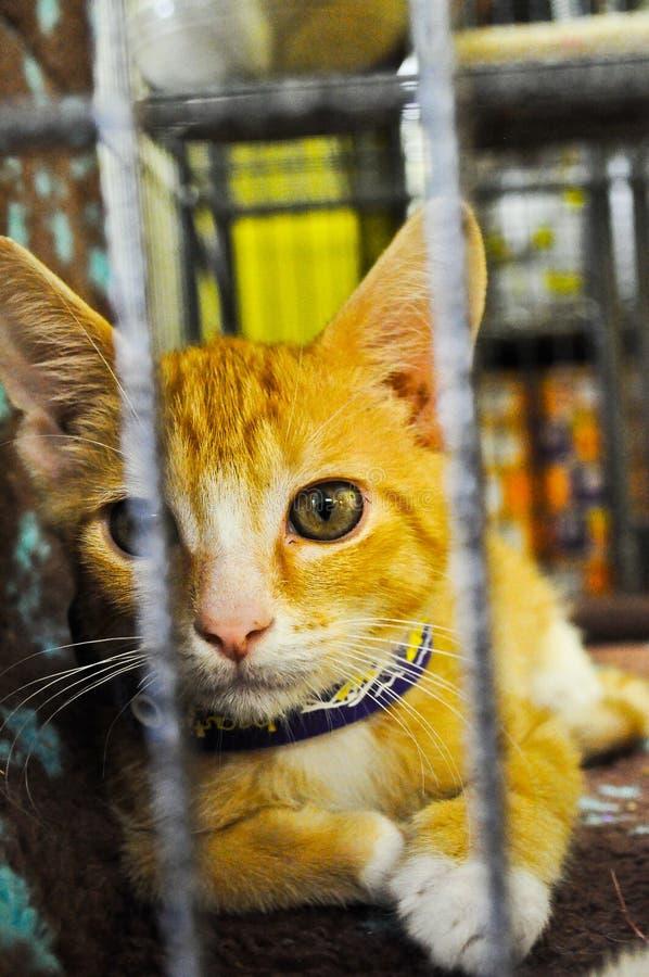 Pomarańczowy figlarka kota klatki Patrzeć zdjęcie stock