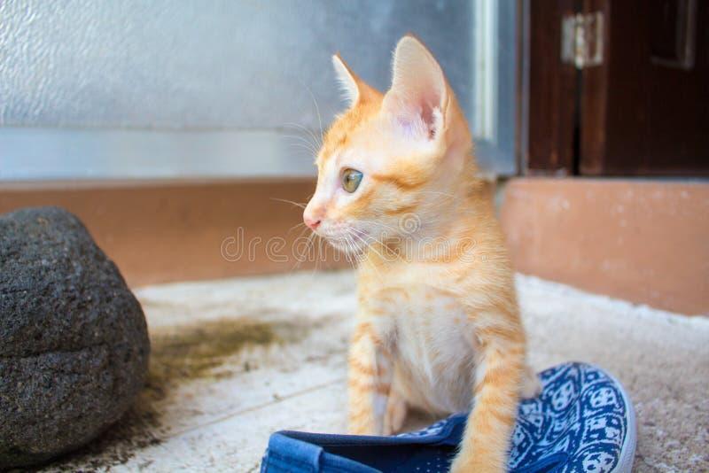 Pomarańczowy figlarki zbliżenia fotografii portret Niegrzeczny kot z kobieta butem zdjęcia royalty free