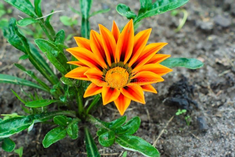 Pomarańczowy gatsaniya Gazania rigens kwiat r obrazy royalty free