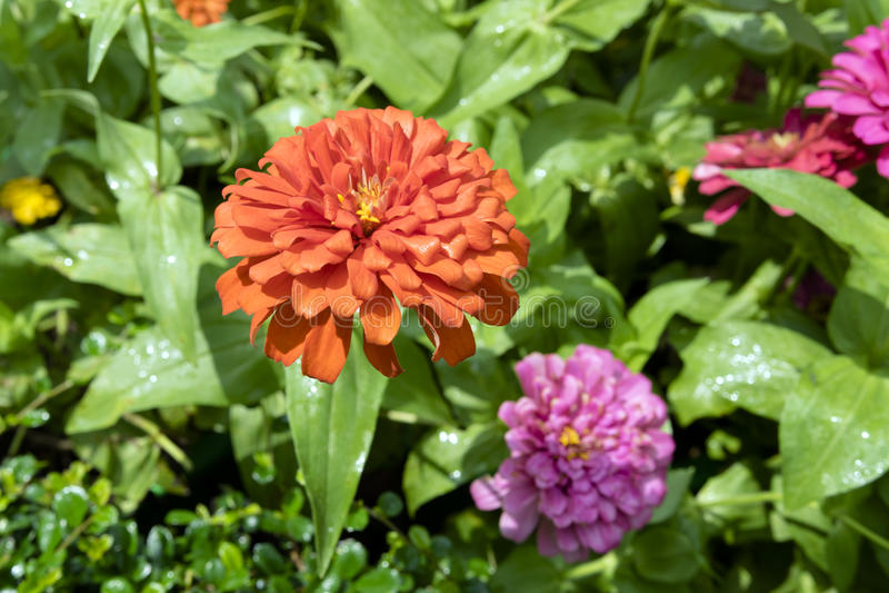 Pomarańczowy Georgina fotografia stock