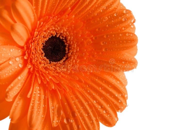 Pomarańczowy Gerber zbliżenie zdjęcie stock
