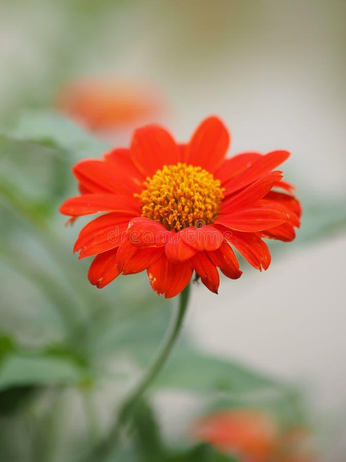 Pomarańczowy Gerbera stokrotki kwiat na zamazanym natury tło zdjęcia stock