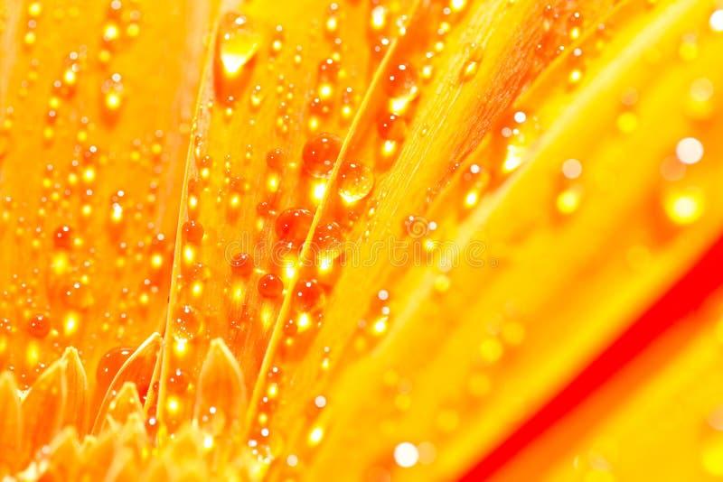 Pomarańczowy gerbera stokrotki kwiat z wodnymi kroplami zdjęcia stock