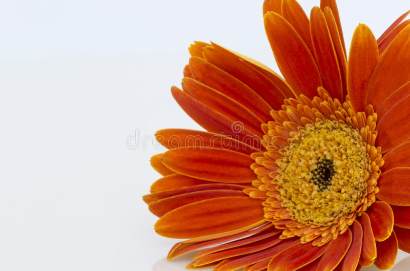 Pomarańczowy gerbera stokrotki kwiatu zbliżenie (Transvaal) obraz stock