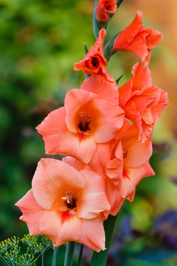 Pomarańczowy gladiolus obraz royalty free