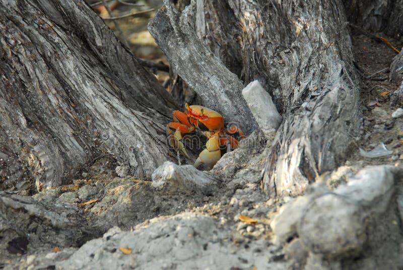 Pomarańczowy Gruntowy krab fotografia royalty free