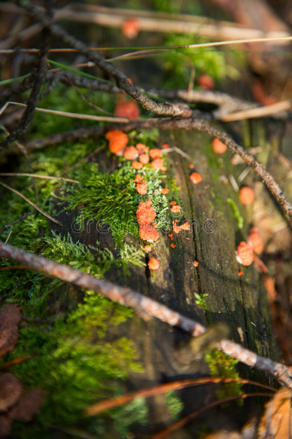 Pomarańczowy grzyb na starym drewnie w lesie zdjęcia royalty free