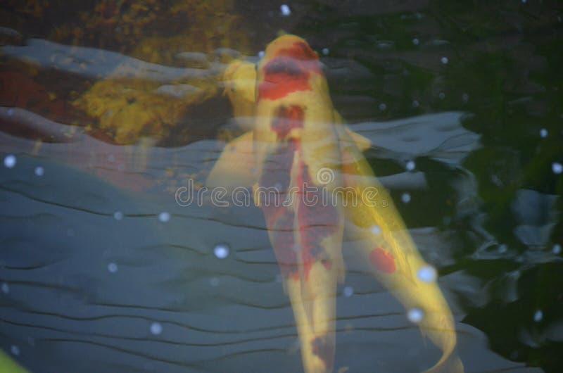 Pomarańczowy i biały koi ryba dopłynięcie w stawie fotografia royalty free