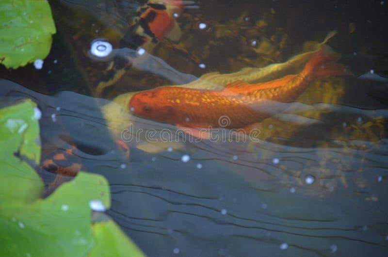 Pomarańczowy i biały koi ryba dopłynięcie w stawie obrazy royalty free