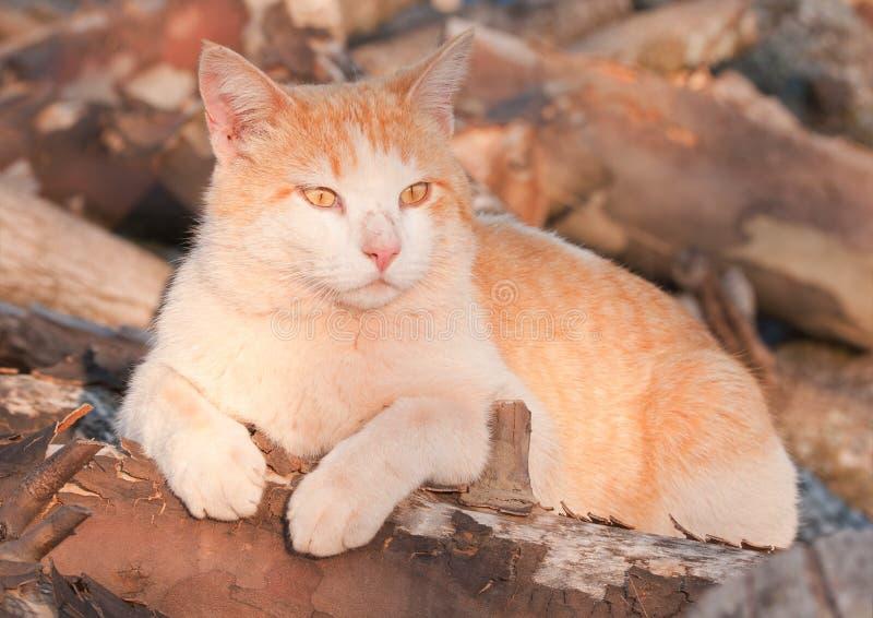 Pomarańczowy i biały tomcat na górze drewnianego stosu obraz stock