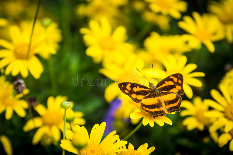 Pomarańczowy i czarny Monarchiczny motyl wśród żółtych stokrotek zdjęcie royalty free