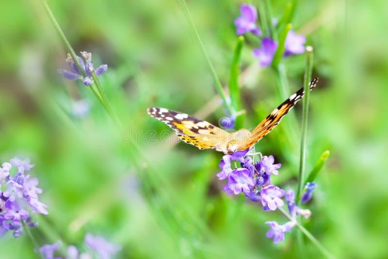 Pomarańczowy i czarny motyl na purpura kwiacie fotografia stock