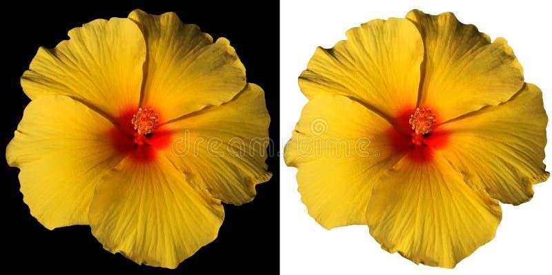 Pomarańczowy i Czerwony poślubnika kwiat Odizolowywający zdjęcia stock
