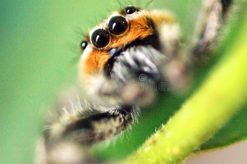Pomarańczowy i Szary Skokowy pająk W górę obrazy royalty free