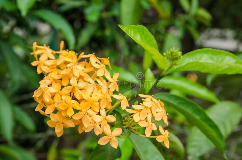 Pomarańczowy Ixora kwiat zdjęcie stock