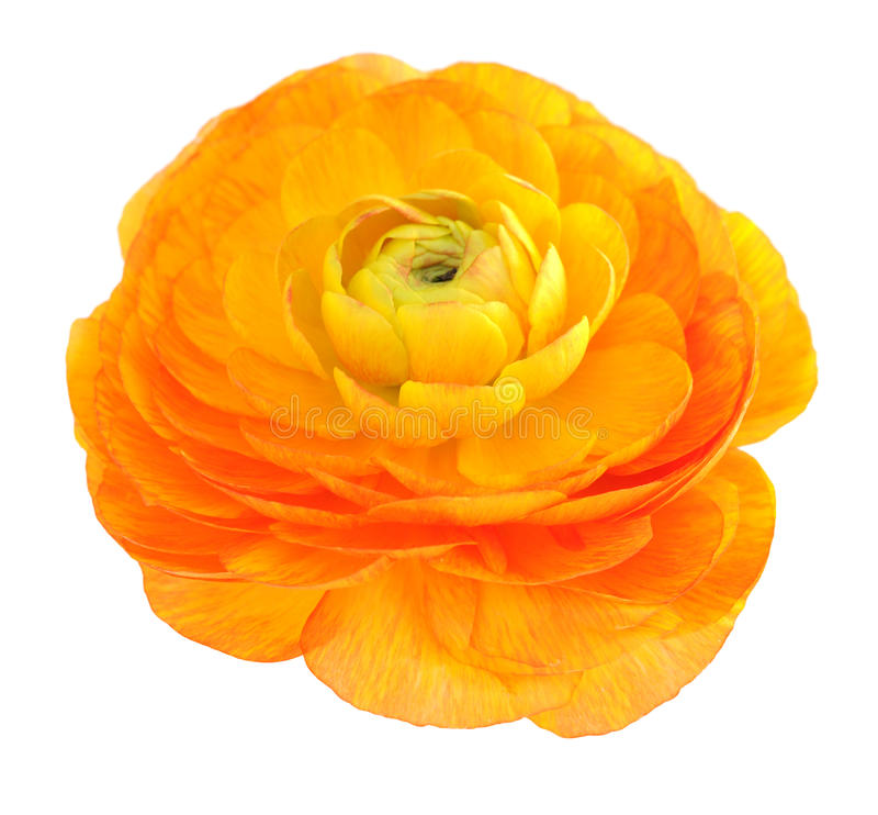Pomarańczowy jaskier obraz royalty free