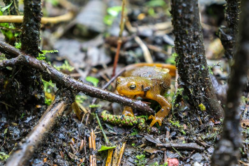 Pomarańczowy jaszczur w Dzikim, Eugene Oregon fotografia stock
