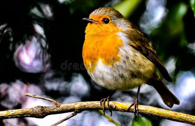 Pomarańczowy Kanarowego ptaka obsiadanie na gałąź obrazy stock