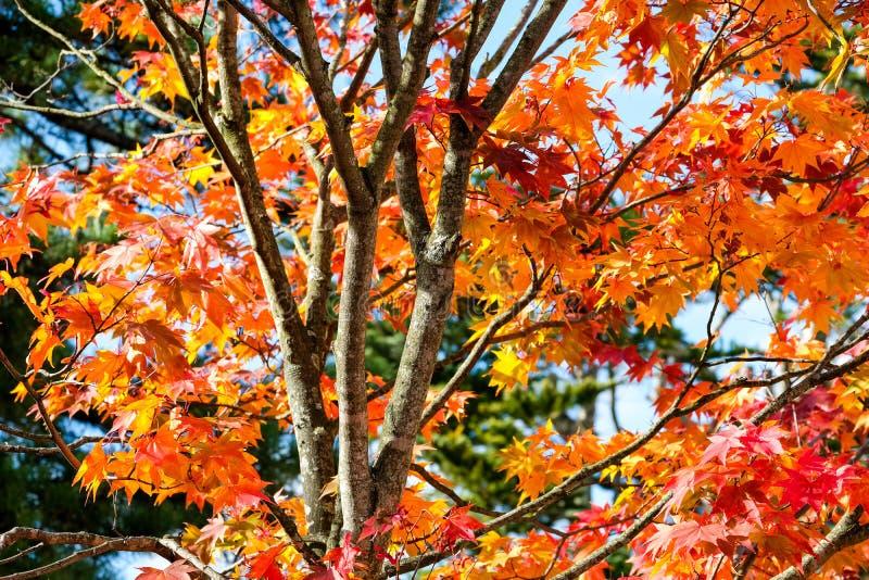 Pomarańczowy klonowy drzewo w jesień sezonie, klonowej gałąź jaskrawych kolorach w pomarańcze, czerwieni i kolorze żółtym w lesie obrazy royalty free