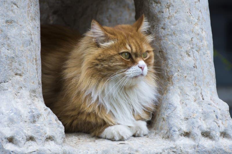 Pomarańczowy kot lubi lwa zdjęcia stock